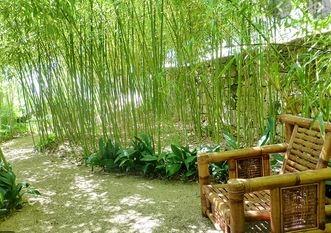 bambou-jardin.JPG